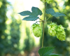 Forsyth County to Host NC-VA Hops Conference