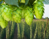 South Atlantic Hops Conference for North Carolina and Virginia Hops Growers