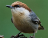 Brown-headed nuthatch with  Cynthia Donaldson July 7th