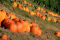 Pumpkin Pick Hayrides at Tanglewood