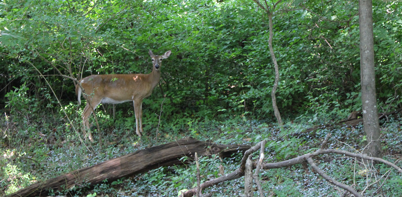 Join Extension for a Virtual Class on Deer Resistant Gardening