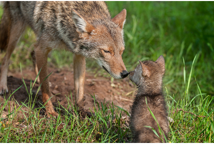 Are Coyotes in your neighborhood?