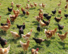 Emerging Threat of Highly Pathogenic Avian Influenza May Affect Birds and Poultry